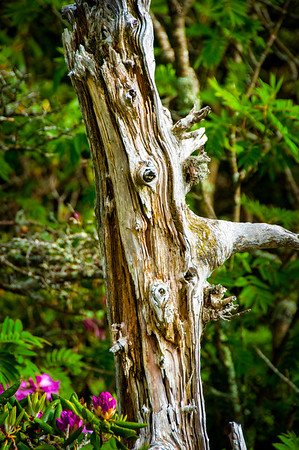 Grandfather Mountain-Old Tree Trunk